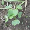 キャベツとブロッコリー苗定植