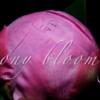 Camera | Timelapse タイムラプス | Osmo Pocketで芍薬の開花タイムラプス撮影