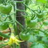 21本のトマト