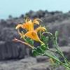 ハマカンゾウの咲く美々津海岸