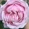 【今年も】バラの季節【咲いたけど】