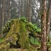 森林浴にて安らぎ、爽快感を感じながら、古樹巨木群があちこちに~「阿里山国家森林遊楽区」の散策