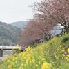2012年3月、河津桜を見てきた。