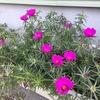 2-100   愛すべき花たち〜越冬…日々草とびっくりポーチュラカ〜
