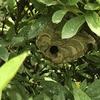 浜松市でツツジの木にできたスズメバチを退治してきました!