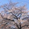 中央地区のさくら開花情報 (3月21日 午後 撮影)