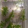 アカハライモリ孵化