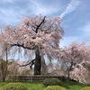 2021年3月27日 京都市内桜状況 今日・明日が見ごろです♪