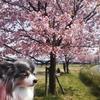 大寒桜の並木が満開