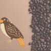 フンから採取⁉ 高級ジャクバードコーヒー