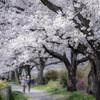 見沼田んぼの桜 -2019-
