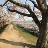 桜満開。五稜郭公園の桜は見た方が良い!