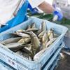 2017年6月16日 小浜漁港 お魚情報