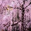 【写真撮影テクニック】 桜を撮影するときの一眼レフの設定。(初心者用)