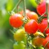 ミニトマトとおじぎ草