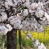 桜と一眼レフ