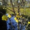 散歩の途中でみつけた蠟梅