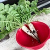 家庭菜園で初めての大根収穫!!でも、かっら~~~!!!