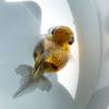 穂竜の弐歳魚