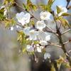 近所のヤマザクラも咲き始める まだ1分にも満たないけどね