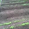 野菜の種蒔き