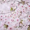 お花見ポタリング #さくら