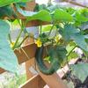 家庭菜園 初収穫