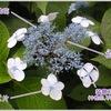 アジサイ科の花たち(1):アジサイ属 ヤマアジサイとガクアジサイが咲いています.趣あふれるヤマアジサイ/華やかなガクアジサイ.最近のアジサイは,かつてのイメージを一新し,色・形も様々でとても美しくなりました.アジサイ属にはツルアジサイ,タマアジサイ,ノリウツギなども含まれますが,系統発生的な解析では,かなり離れた位置に分類されています.
