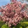 バラ科の花たち