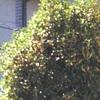 あの角のこの角の香も金木犀