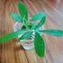 【観葉植物】冬になりパキラの元気がなくなったので挿し木をする