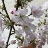 富士桜は、ミニ盆栽に!旭山桜は、鉢植えで!