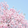 「桜、桜」2 〜サクラ咲く、おとりのサクラ、桜色