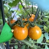 ミニトマト試食(今日は雑談多めです(笑))