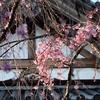 🌸谷中霊園で桜の開花具合を見てきました