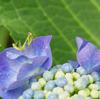 紫陽花はそろそろ終わり