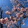 飛鳥山公園の桜  北区王子