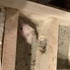 ハムスターの赤ちゃん(22日目)巣箱内をウロウロ
