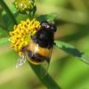 花に集まるかわいい昆虫「ハナアブ」の種類と魅力