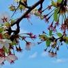 秋田の桜 1週間で桜吹雪…〜もの悲しい散り際 4/28〜