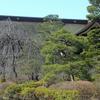 善光寺境内のウメも咲きました