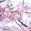 桜咲く東山植物園の桜の回廊