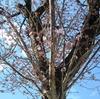 札幌で桜が開花しました