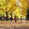 熊本)イチョウ 黄金色に光る 県庁前