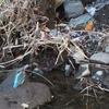 今年もカワセミの巣穴掘り目撃