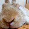 【ミニウサギのサスケ先輩】うさぎのケージを掃除する頻度はどれくらいがベストなのか??