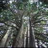 短歌スイング49          ヒバの木はアスナロの木のことでした。