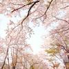 [名桜探訪]★母恋富士下サクラ並木(名桜探訪27)