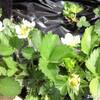 種から2年目のいちごも開花