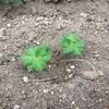越冬したゲラニウムの芽吹き